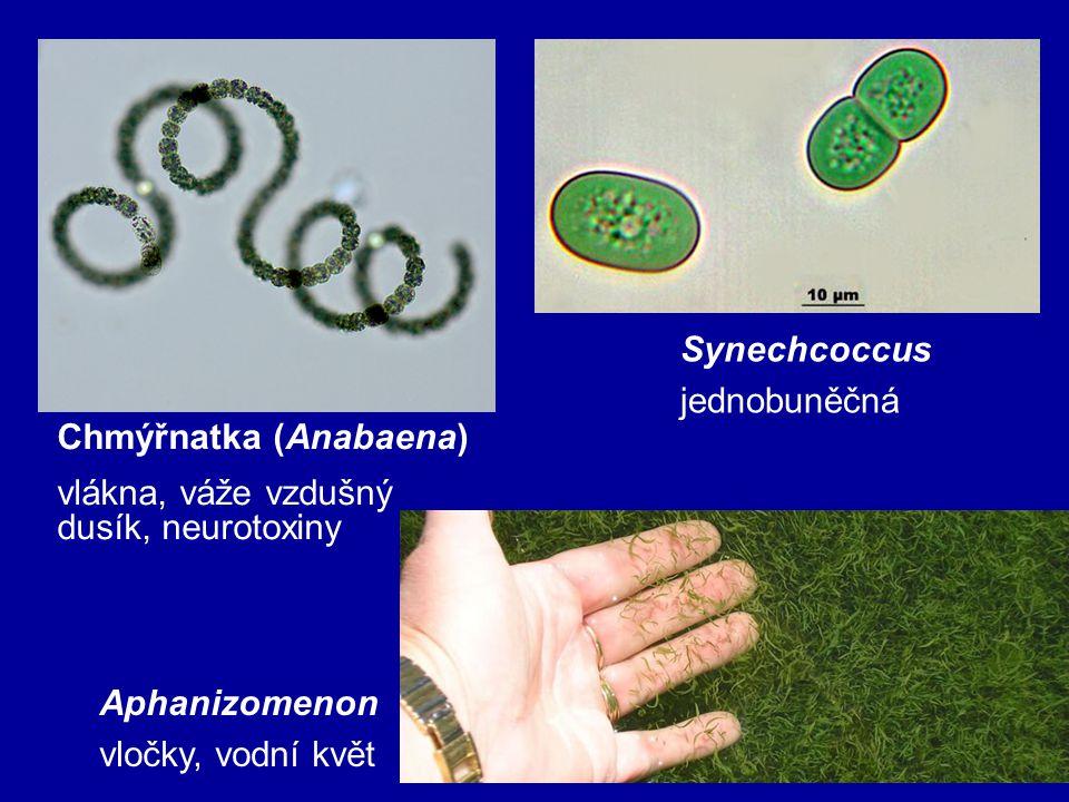 Synechcoccus jednobuněčná. Chmýřnatka (Anabaena) vlákna, váže vzdušný dusík, neurotoxiny. Aphanizomenon.