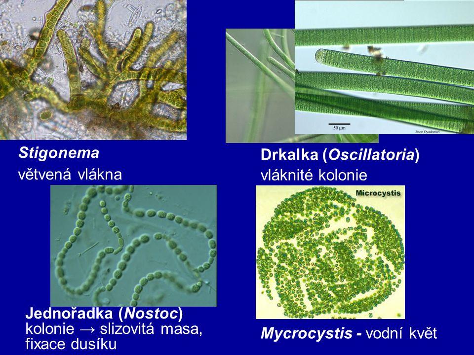 Drkalka (Oscillatoria)