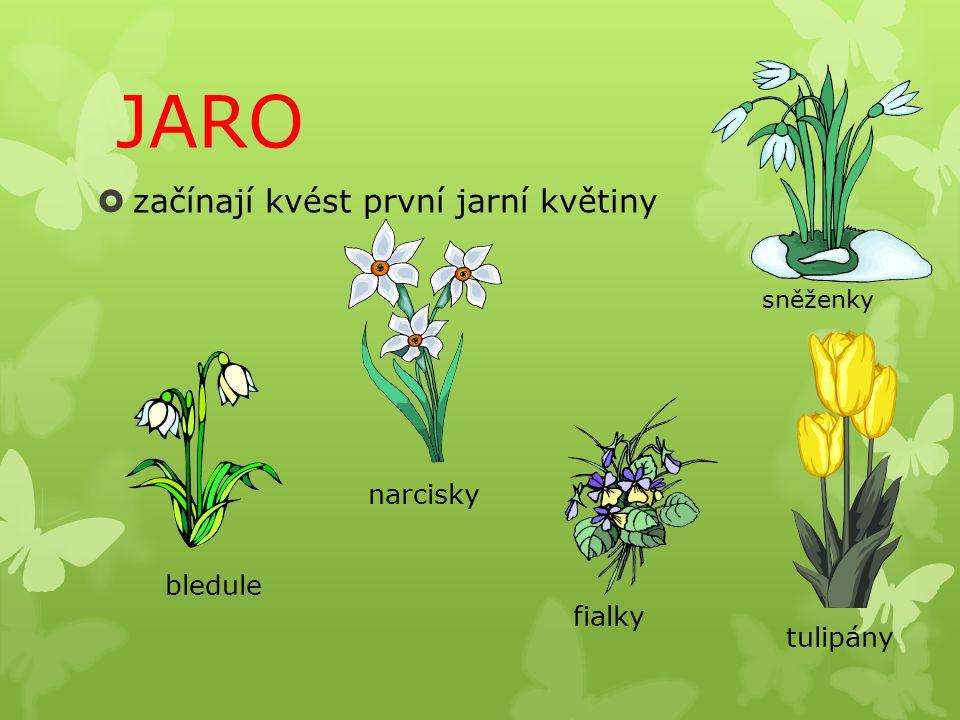 JARO začínají kvést první jarní květiny narcisky bledule fialky
