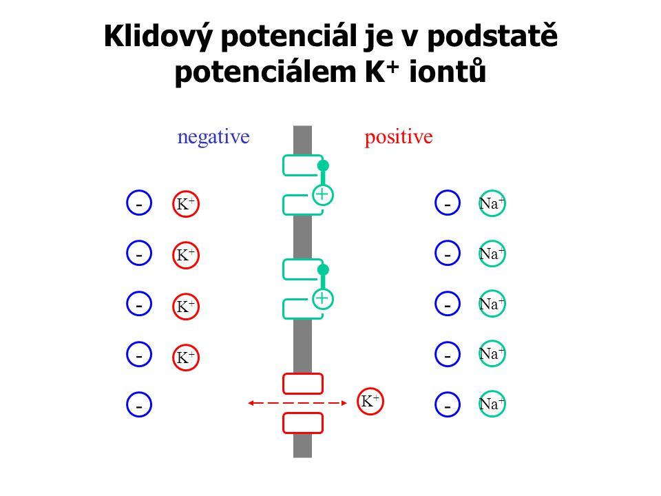 Klidový potenciál je v podstatě potenciálem K+ iontů