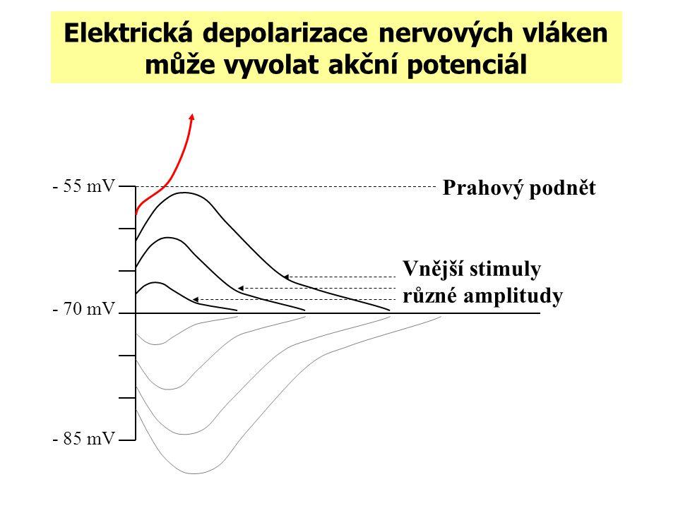 Elektrická depolarizace nervových vláken může vyvolat akční potenciál