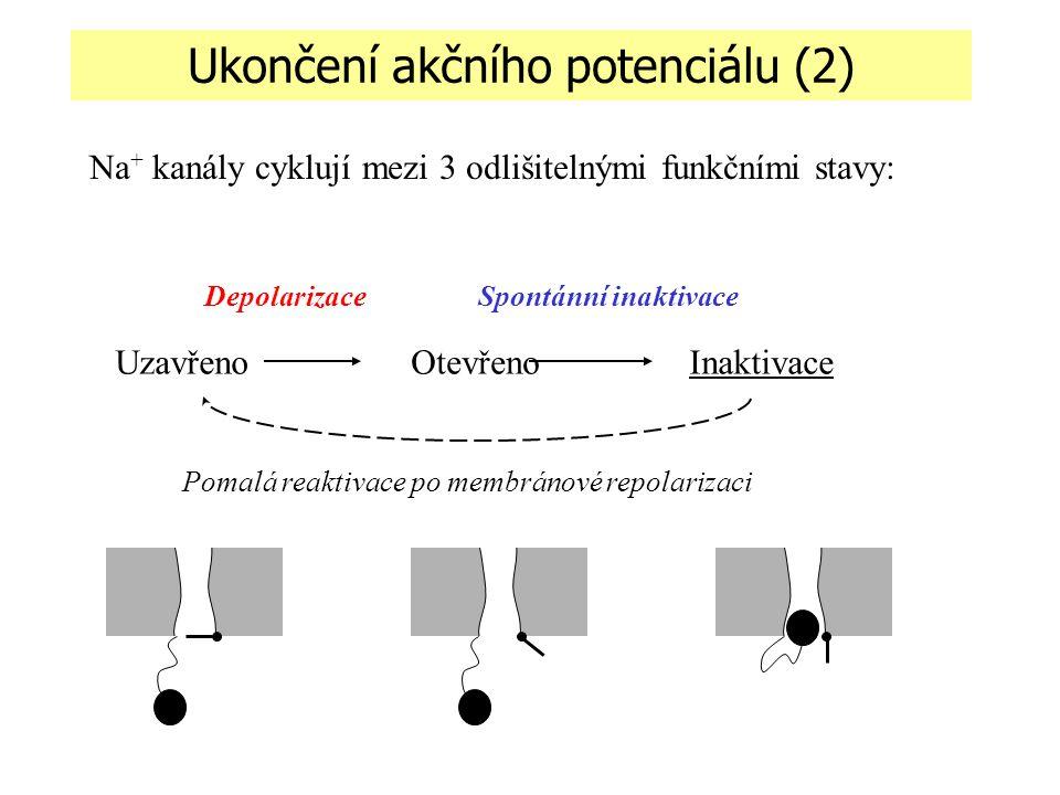Ukončení akčního potenciálu (2)