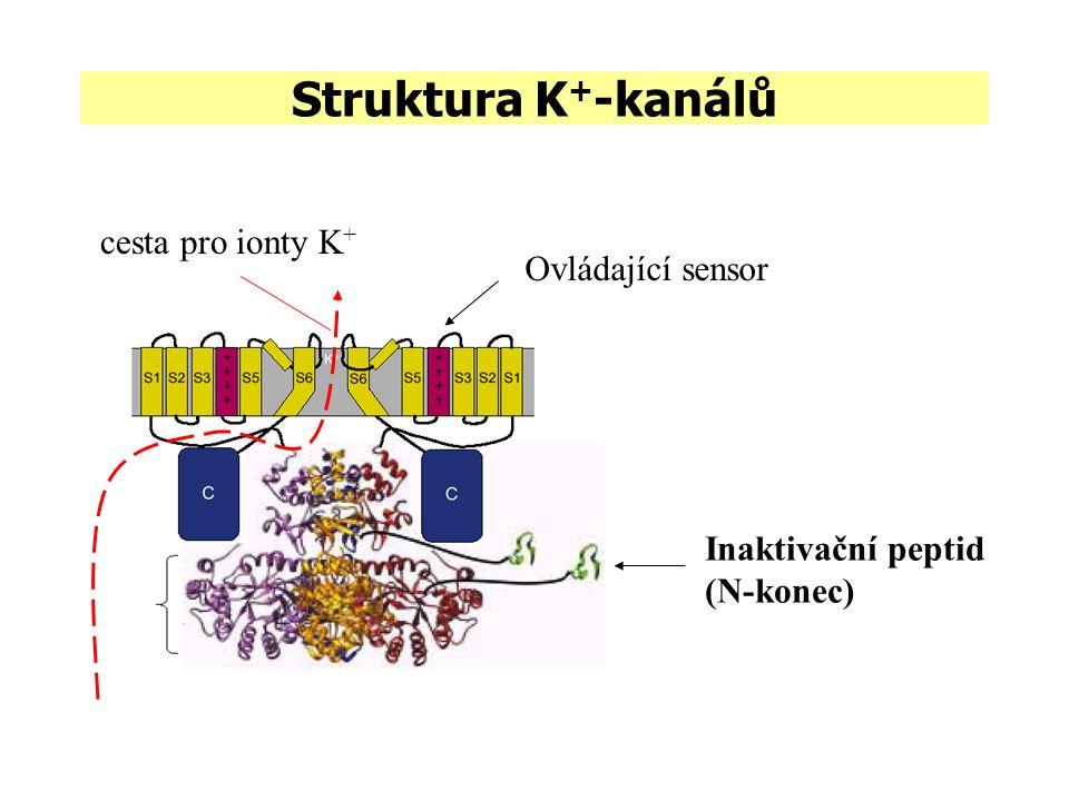 Struktura K+-kanálů cesta pro ionty K+ Ovládající sensor