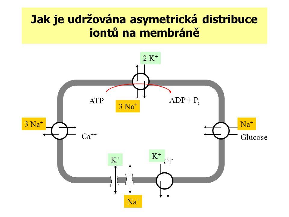 Jak je udržována asymetrická distribuce iontů na membráně