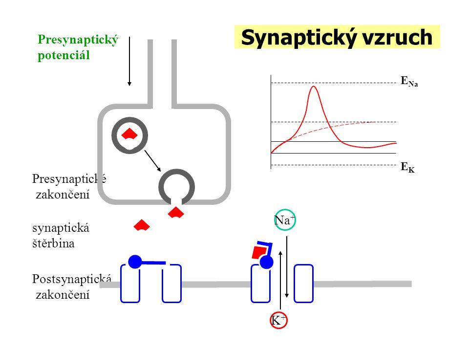 Synaptický vzruch Presynaptický potenciál Presynaptické zakončení Na+