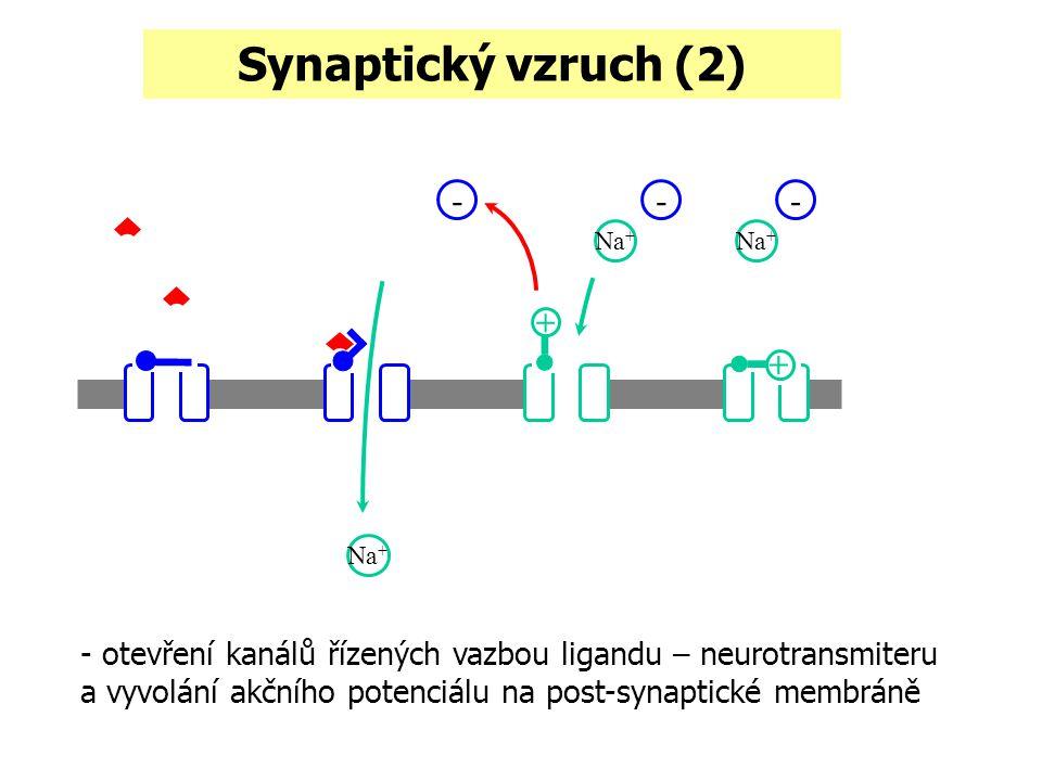 Synaptický vzruch (2) - + - +