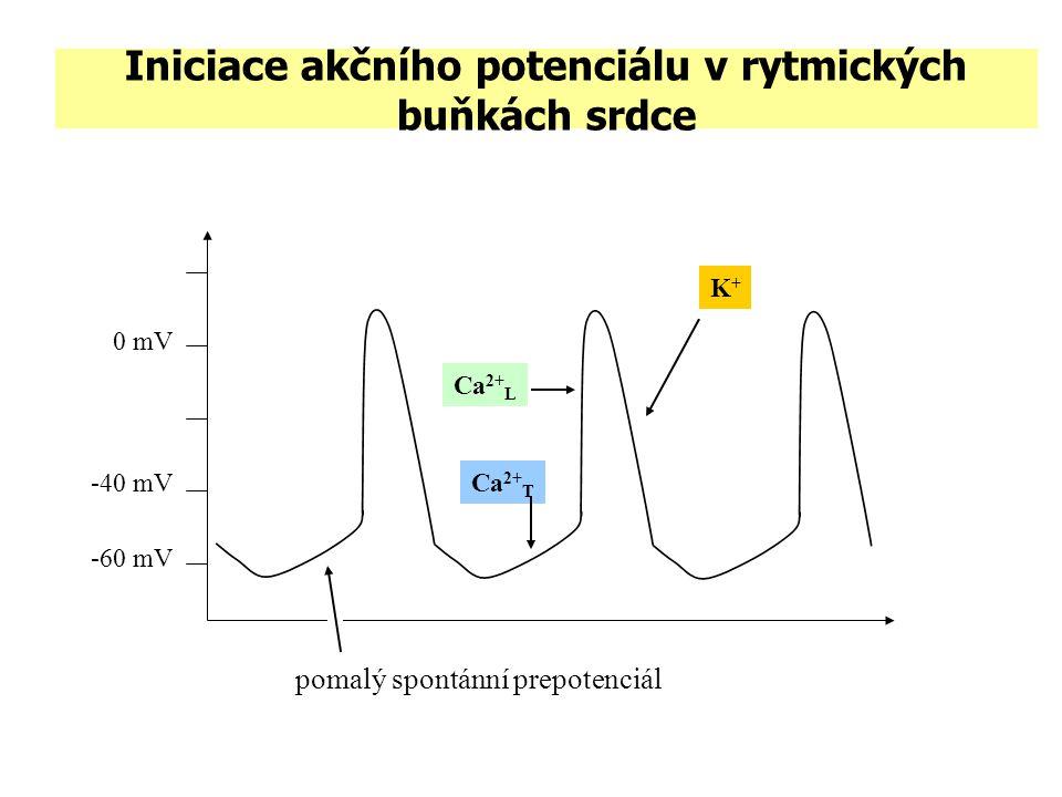 Iniciace akčního potenciálu v rytmických buňkách srdce