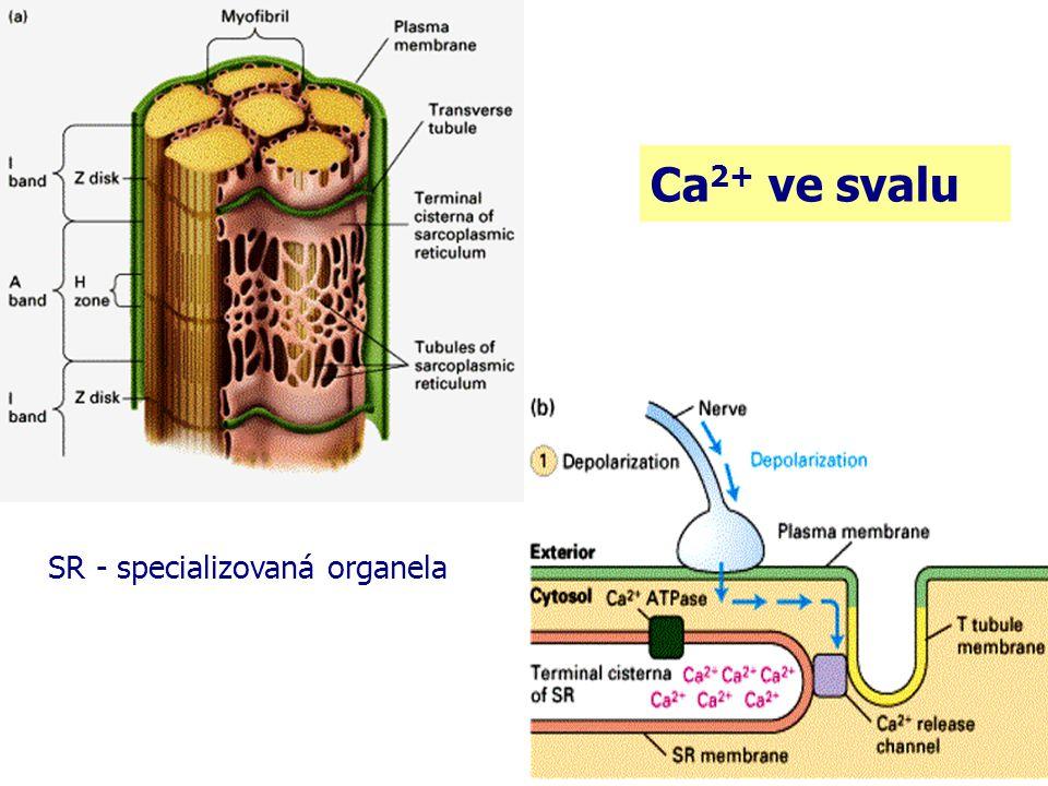 Ca2+ ve svalu SR - specializovaná organela