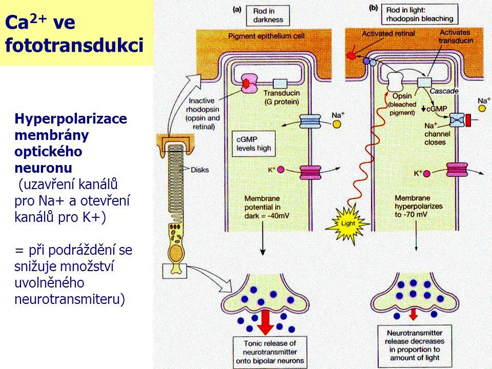 Ca2+ ve fototransdukci Hyperpolarizace membrány optického neuronu
