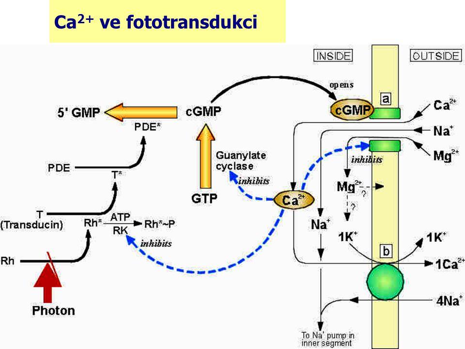 Ca2+ ve fototransdukci