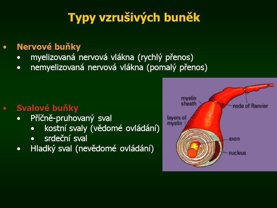 Typy vzrušivých buněk Nervové buňky