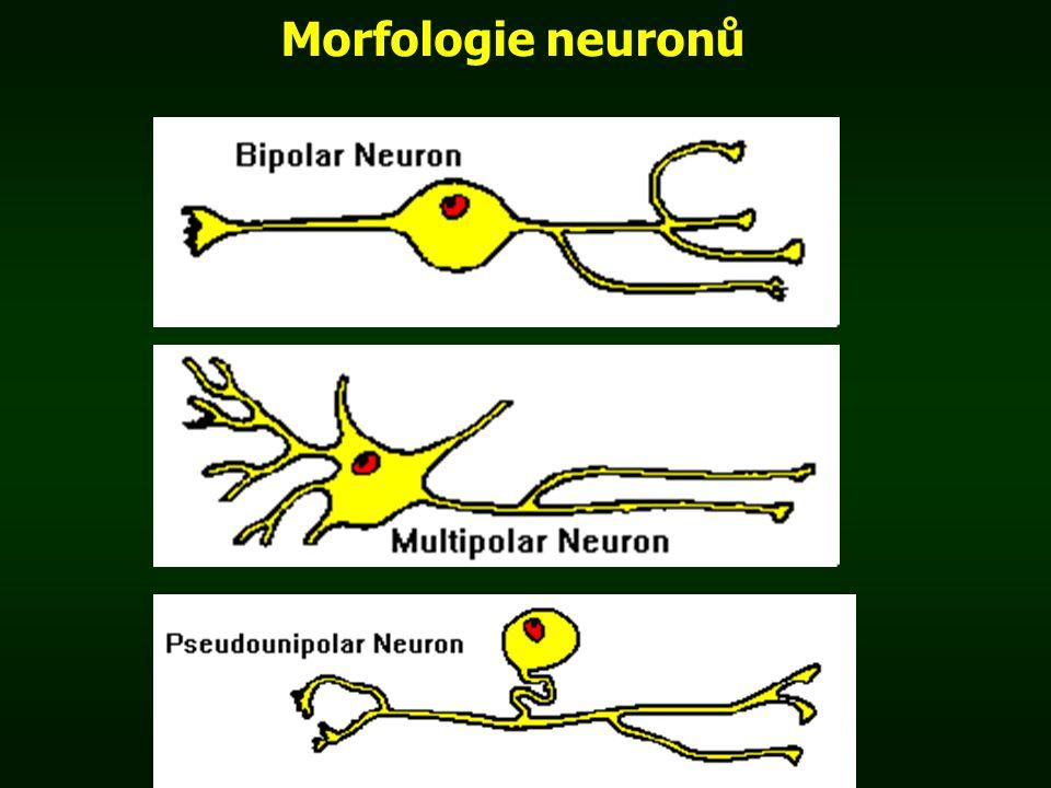 Morfologie neuronů
