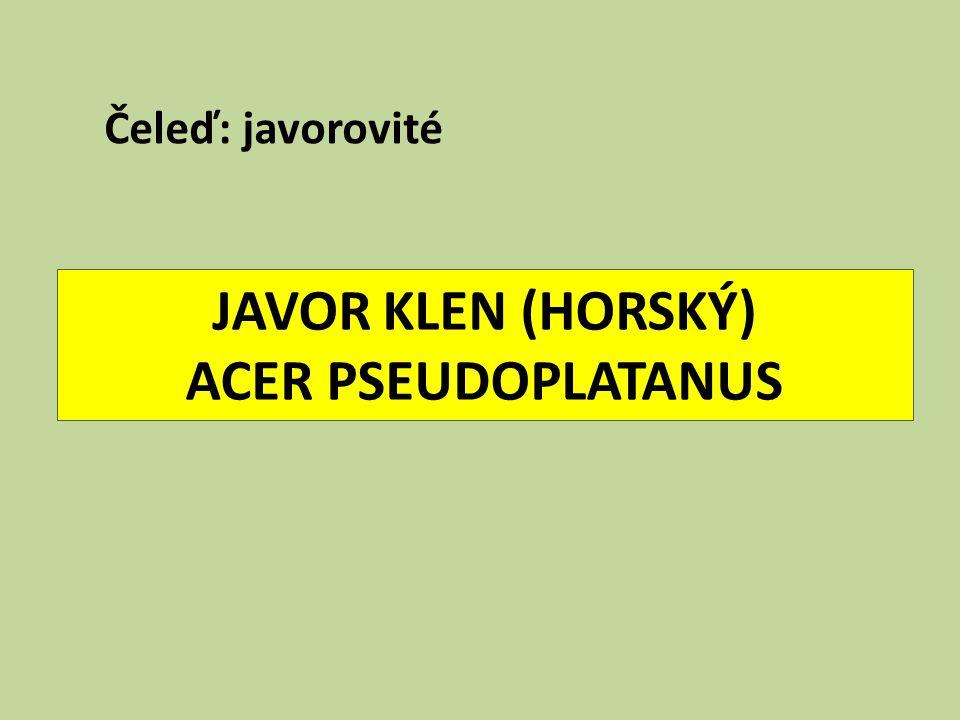 JAVOR KLEN (HORSKÝ) ACER PSEUDOPLATANUS