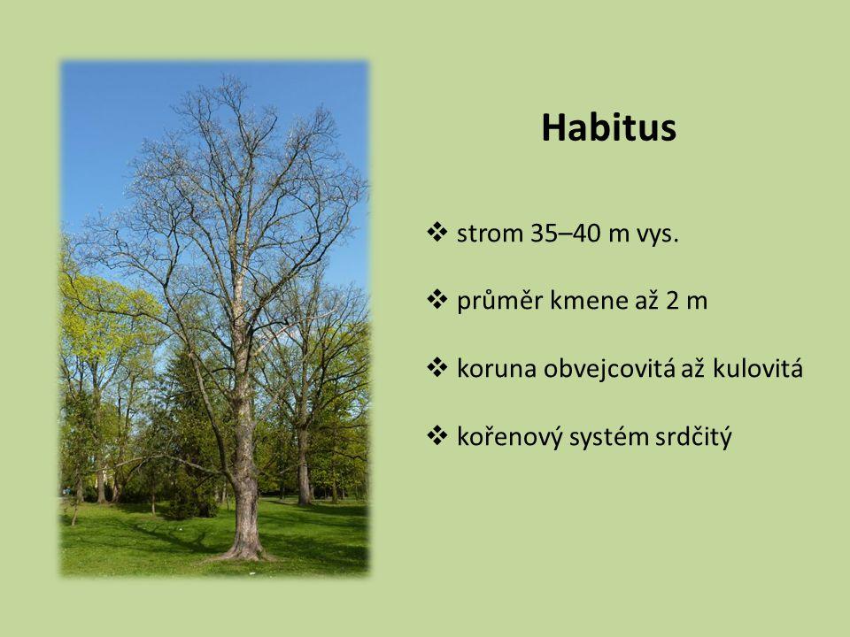 Habitus strom 35–40 m vys. průměr kmene až 2 m