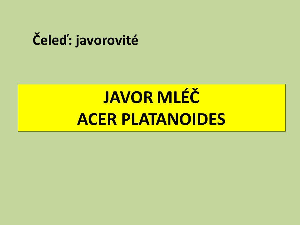 JAVOR MLÉČ ACER PLATANOIDES