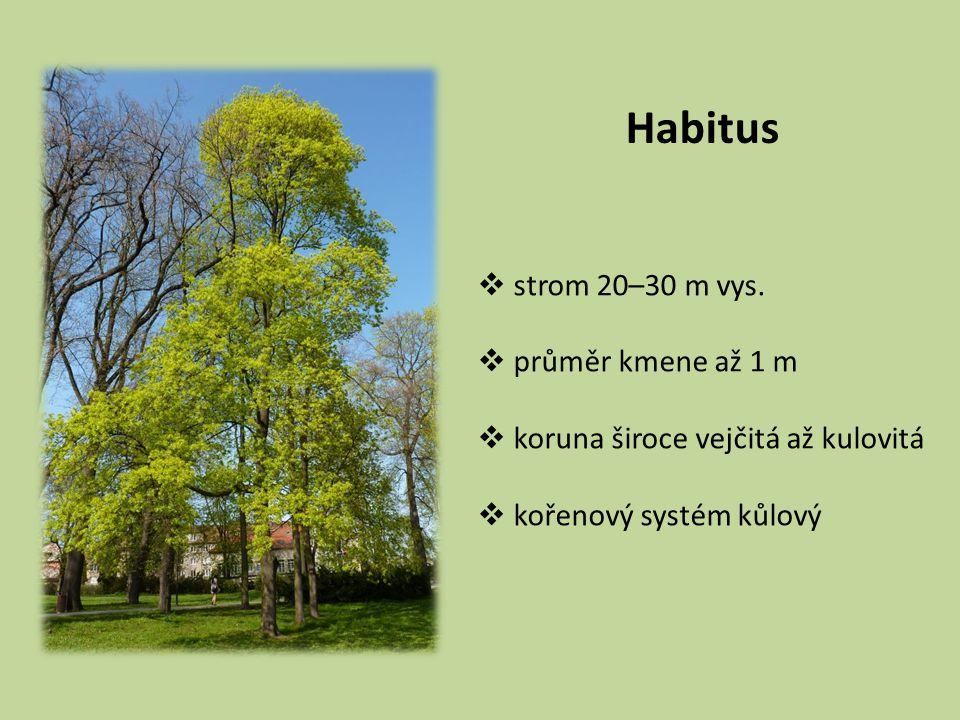 Habitus strom 20–30 m vys. průměr kmene až 1 m