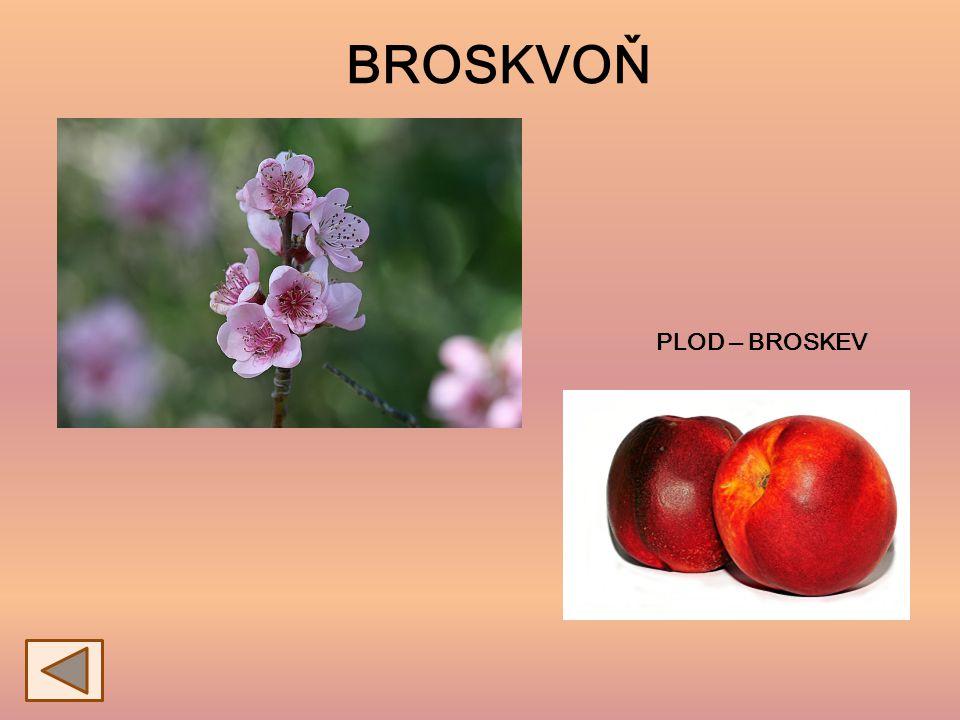 BROSKVOŇ PLOD ‒ BROSKEV