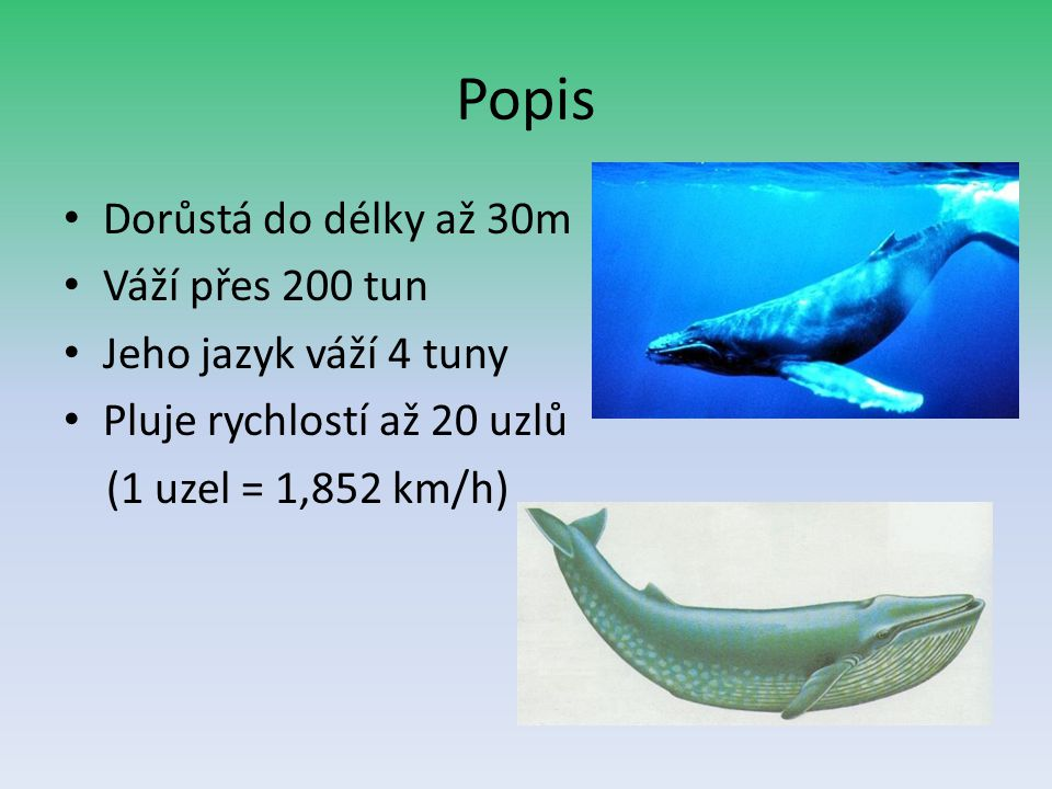 Popis Dorůstá do délky až 30m Váží přes 200 tun Jeho jazyk váží 4 tuny
