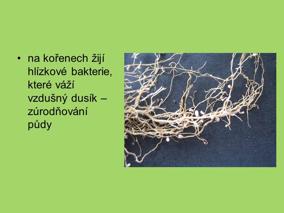 na kořenech žijí hlízkové bakterie, které váží vzdušný dusík – zúrodňování půdy