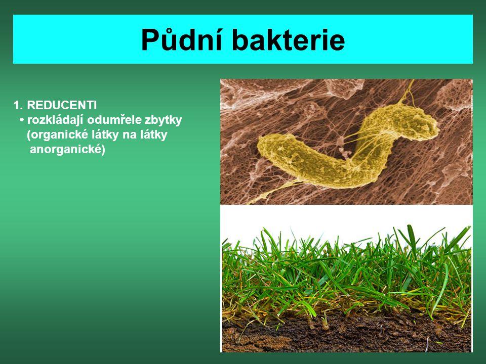 Půdní bakterie 1. REDUCENTI • rozkládají odumřele zbytky