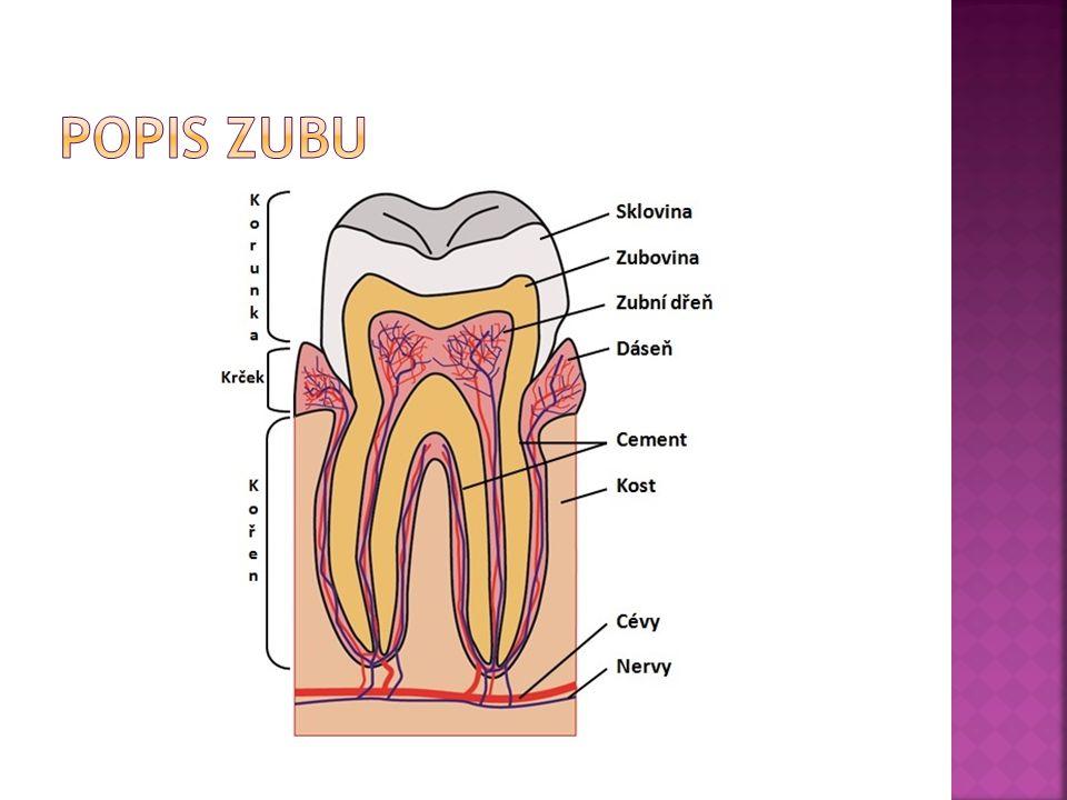 Popis zubu