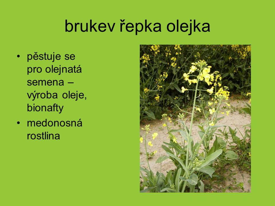 brukev řepka olejka pěstuje se pro olejnatá semena – výroba oleje, bionafty medonosná rostlina