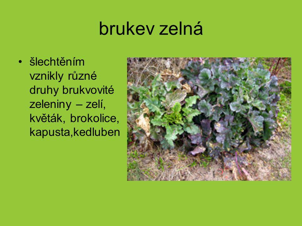brukev zelná šlechtěním vznikly různé druhy brukvovité zeleniny – zelí, květák, brokolice, kapusta,kedluben.