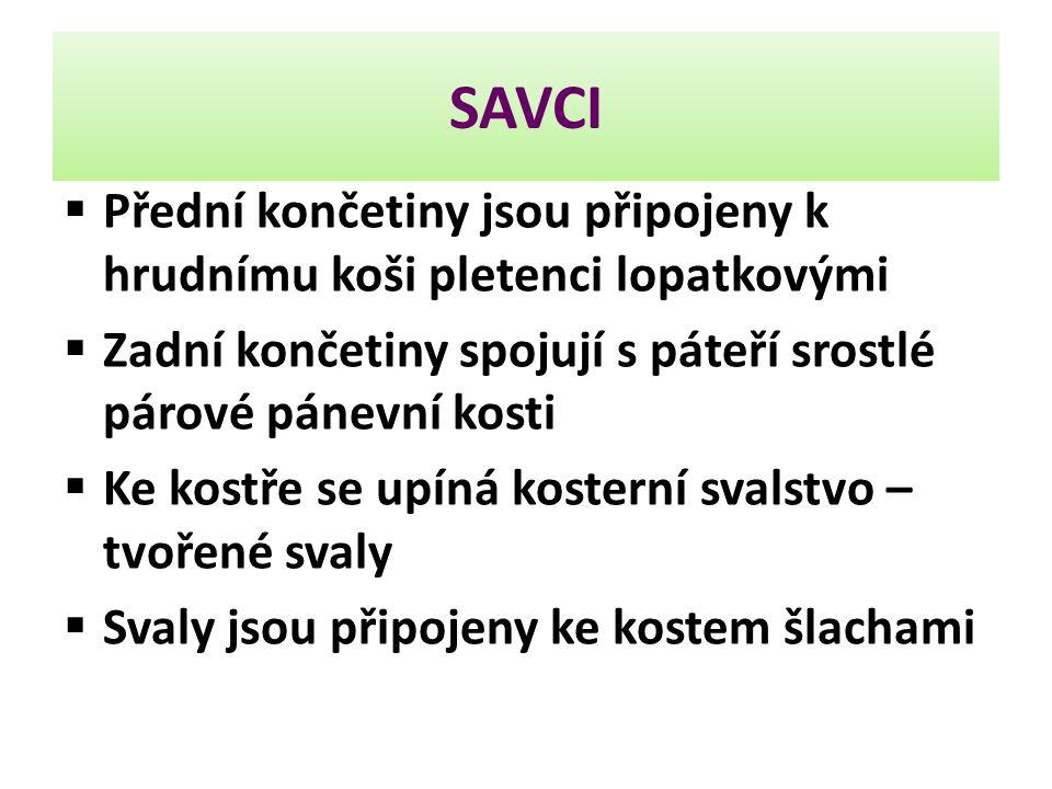 SAVCI Přední končetiny jsou připojeny k hrudnímu koši pletenci lopatkovými. Zadní končetiny spojují s páteří srostlé párové pánevní kosti.