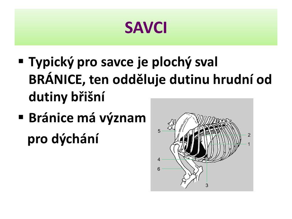 SAVCI Typický pro savce je plochý sval BRÁNICE, ten odděluje dutinu hrudní od dutiny břišní. Bránice má význam.