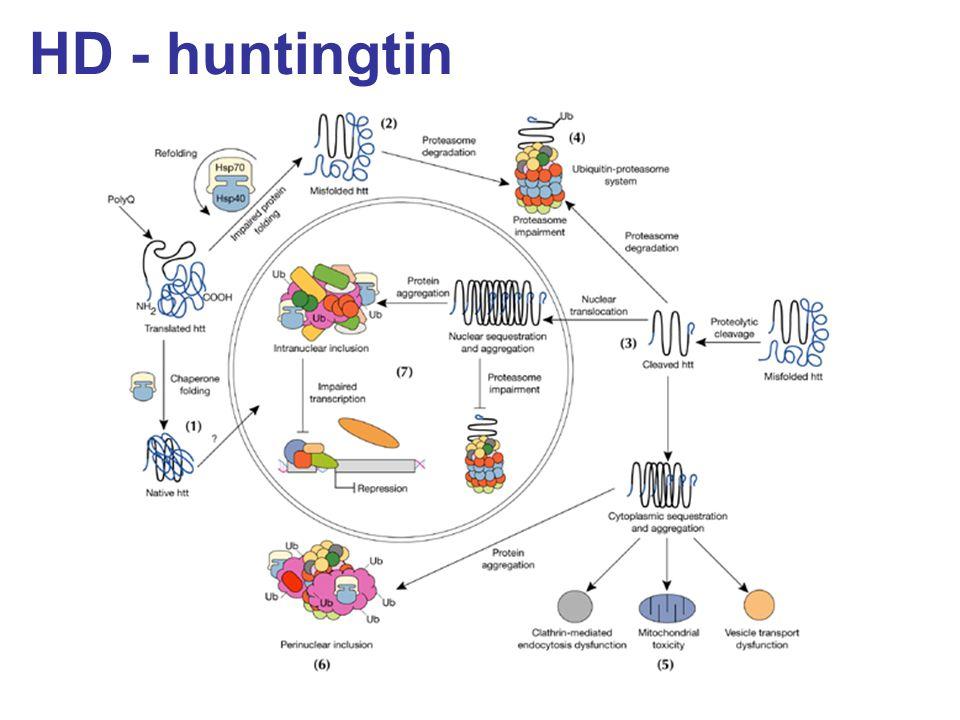 HD - huntingtin