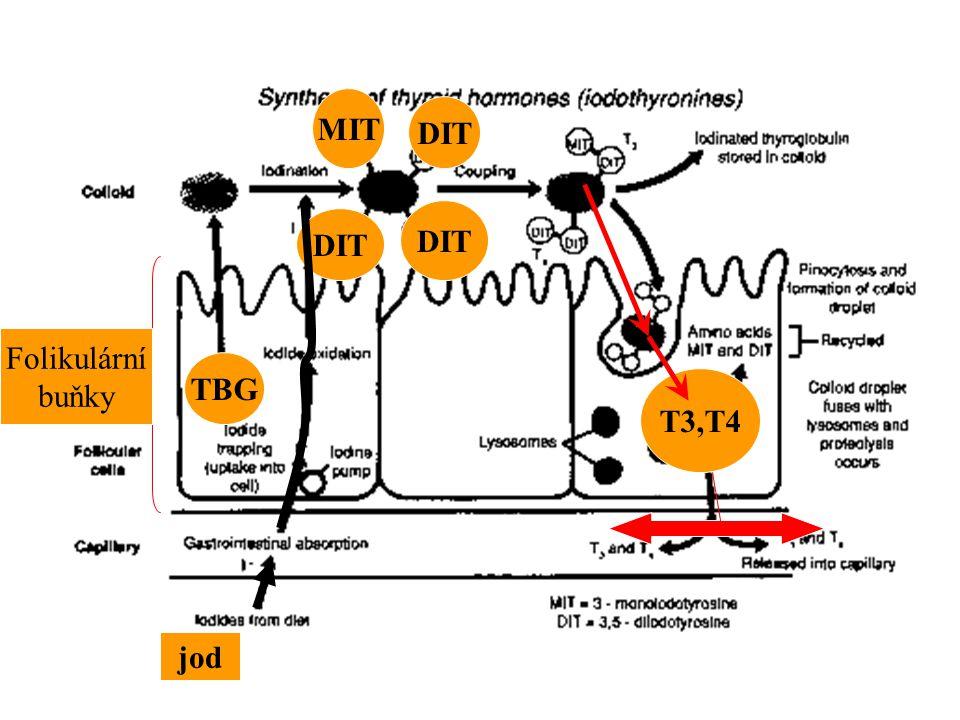 MIT DIT DIT DIT Folikulární buňky TBG T3,T4 jod