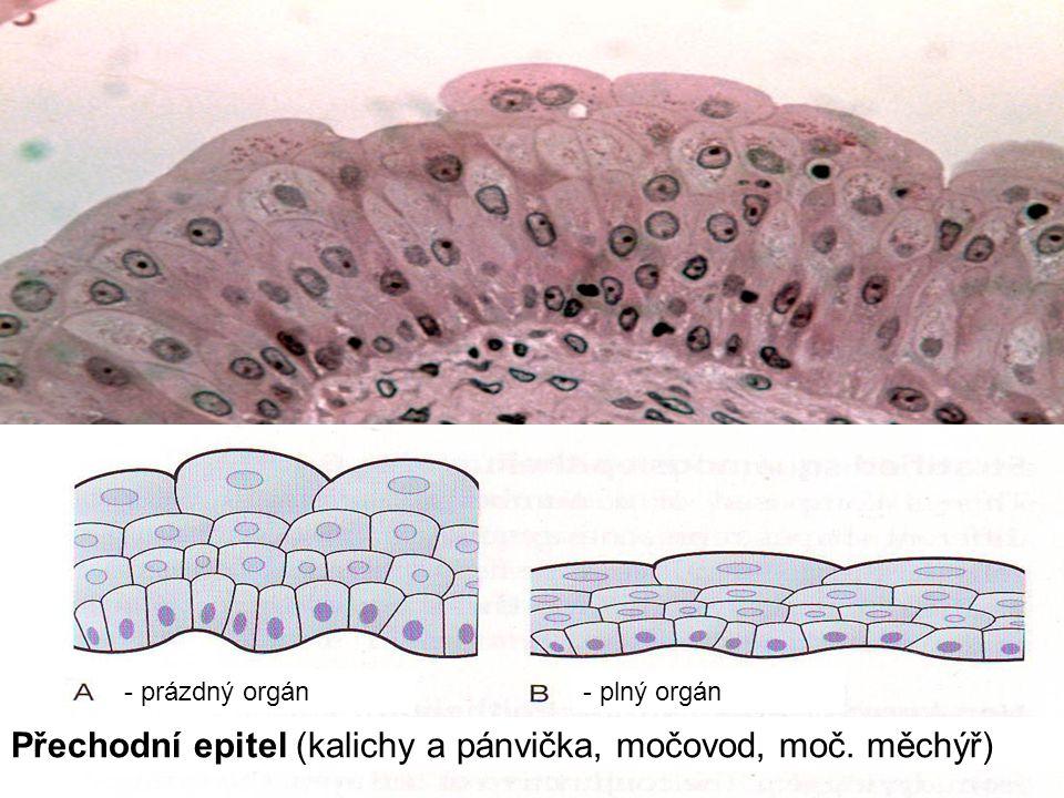 Přechodní epitel (kalichy a pánvička, močovod, moč. měchýř)
