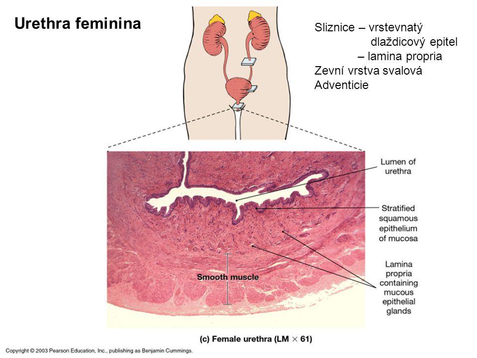 Urethra feminina Sliznice – vrstevnatý dlaždicový epitel