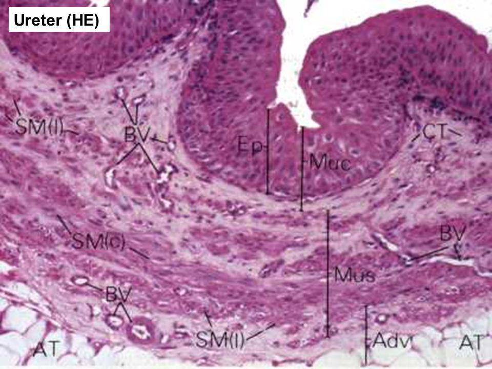 Ureter (HE)