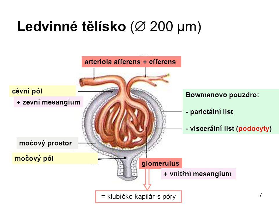 Ledvinné tělísko ( 200 μm)