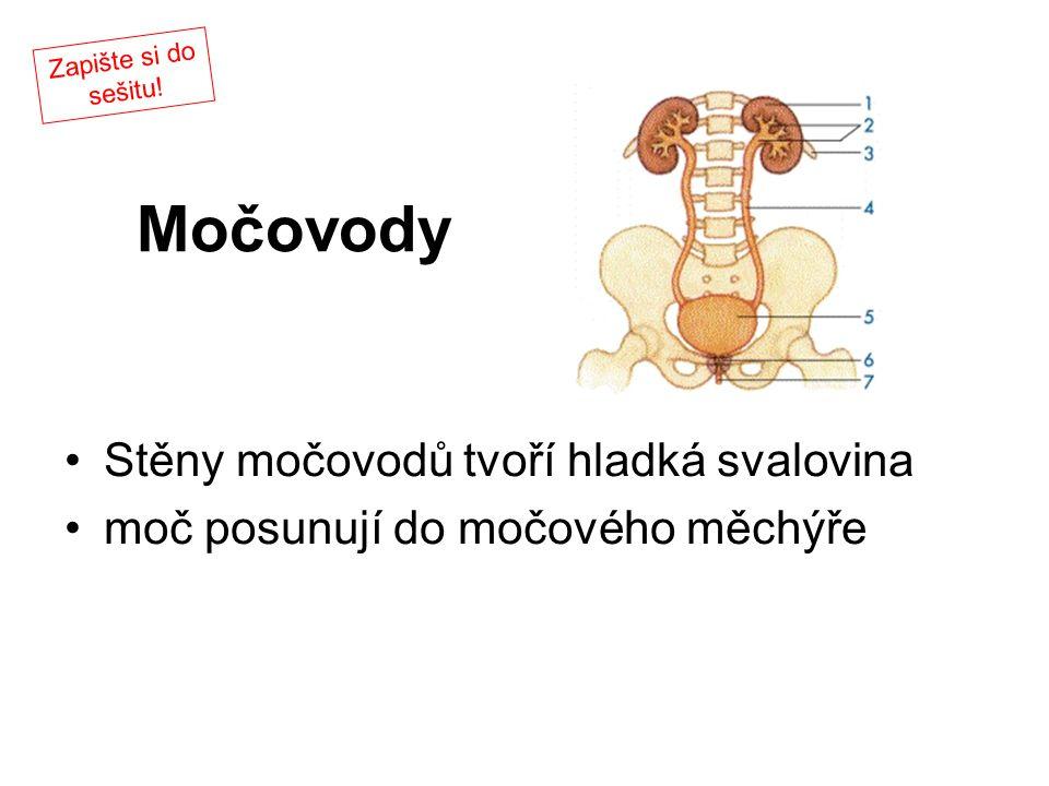 Močovody Stěny močovodů tvoří hladká svalovina