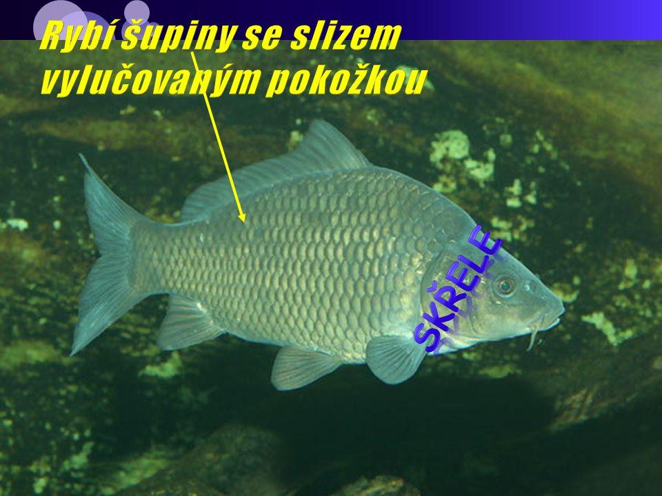 Rybí šupiny se slizem vylučovaným pokožkou