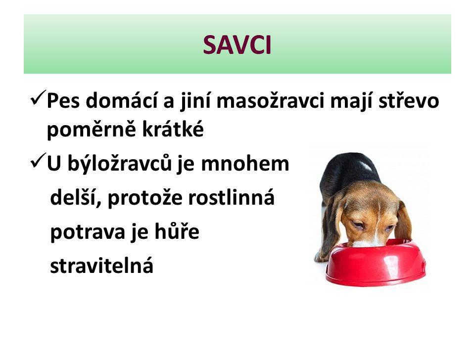 SAVCI Pes domácí a jiní masožravci mají střevo poměrně krátké