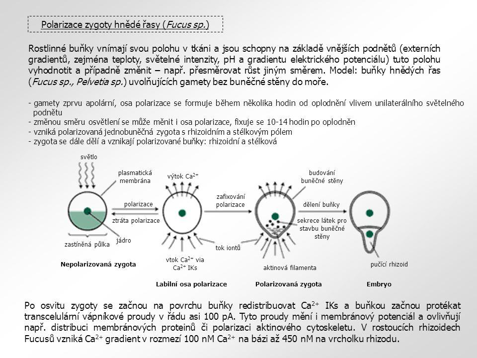 Polarizace zygoty hnědé řasy (Fucus sp.)