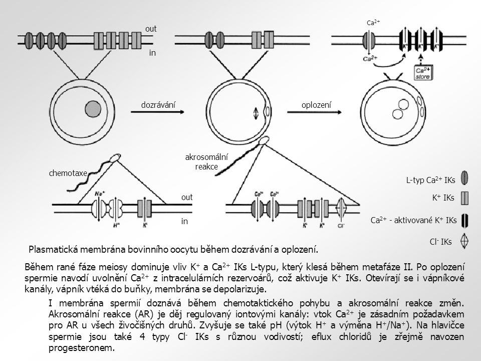 Plasmatická membrána bovinního oocytu během dozrávání a oplození.