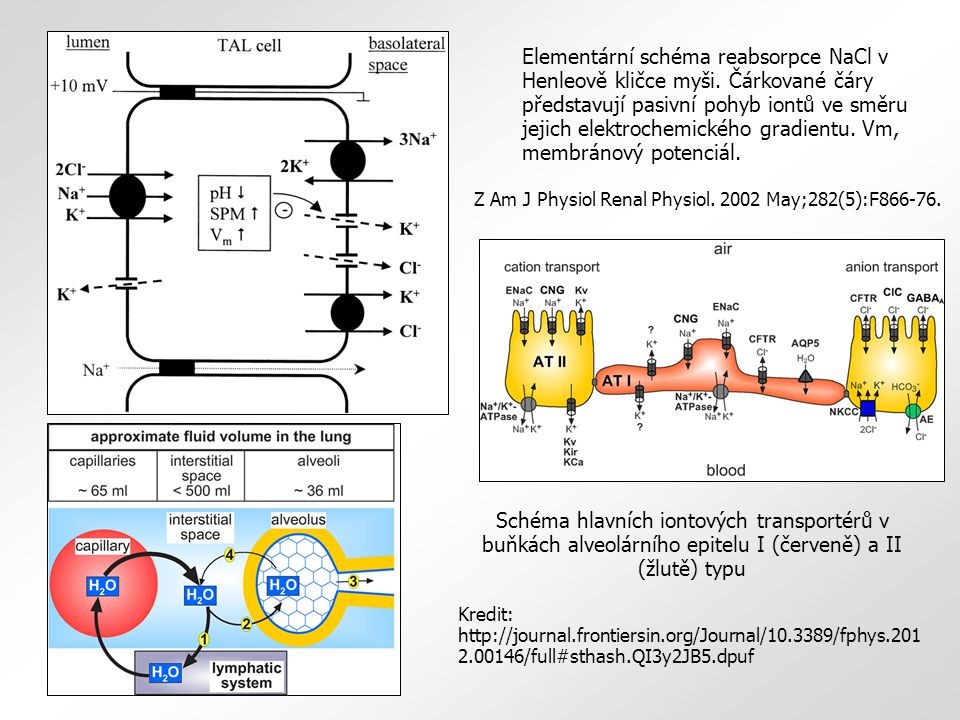 Elementární schéma reabsorpce NaCl v Henleově kličce myši