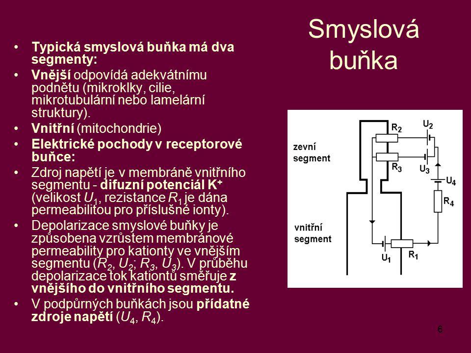 Smyslová buňka Typická smyslová buňka má dva segmenty: