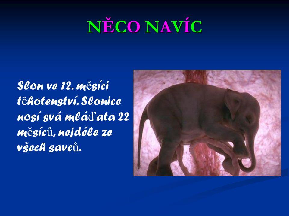 NĚCO NAVÍC Slon ve 12. měsíci těhotenství.