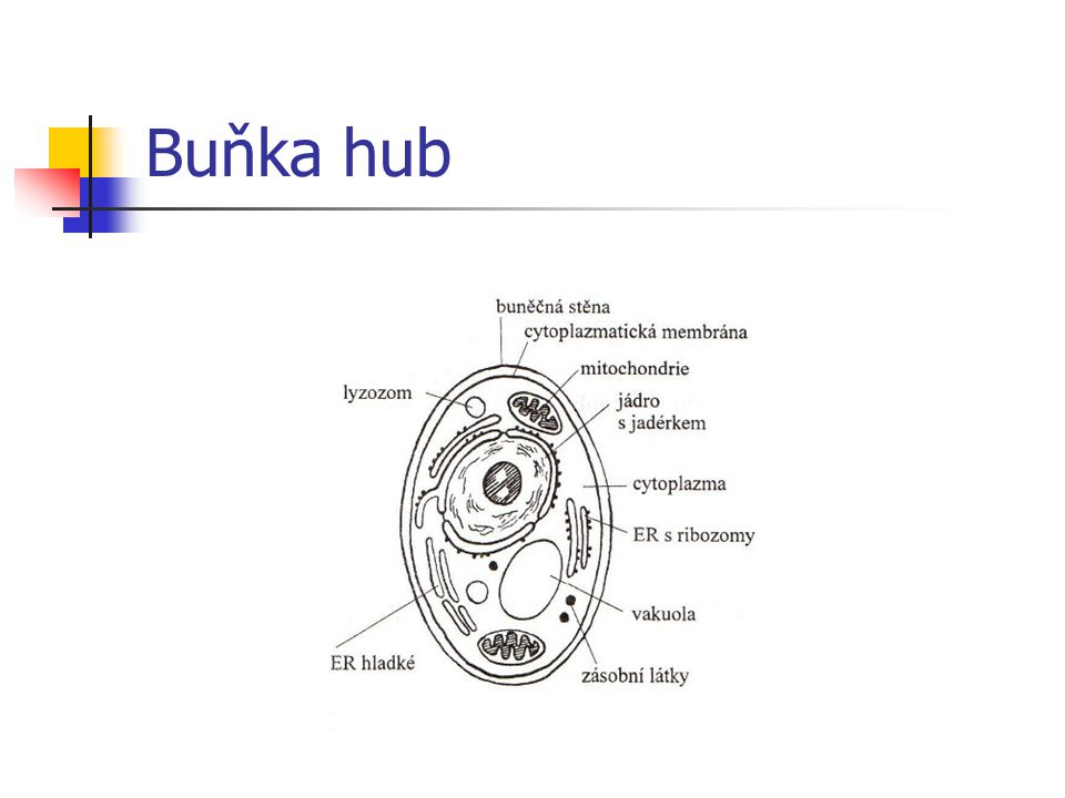 Buňka hub