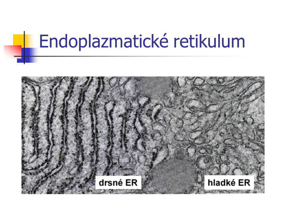 Endoplazmatické retikulum
