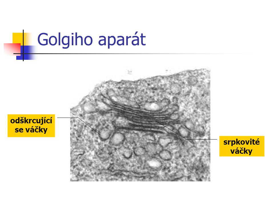 Golgiho aparát odškrcující se váčky srpkovité váčky