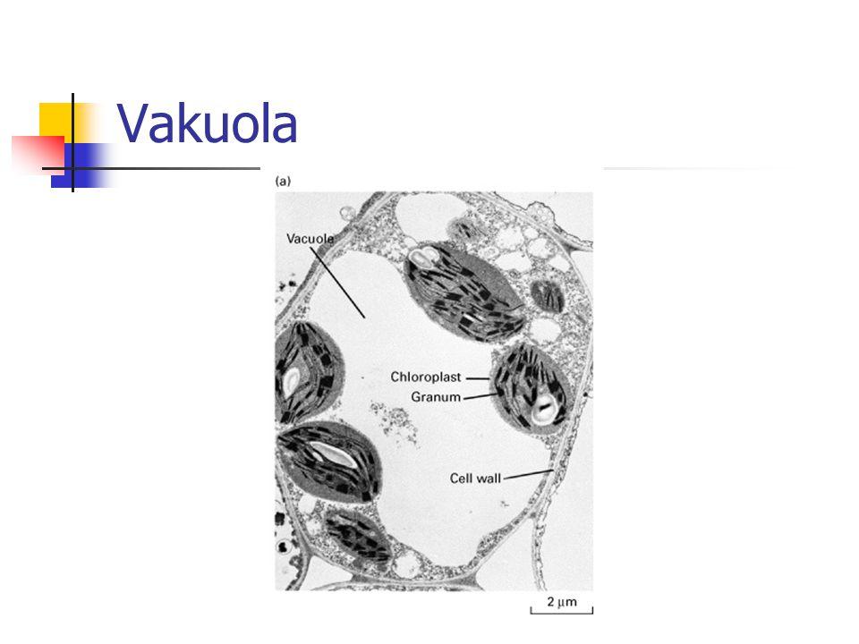 Vakuola