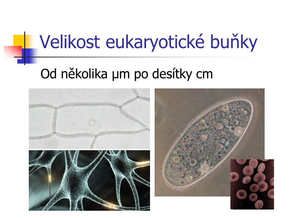 Velikost eukaryotické buňky
