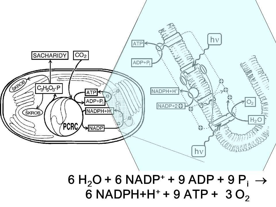6 H2O + 6 NADP+ + 9 ADP + 9 Pi  6 NADPH+H+ + 9 ATP + 3 O2