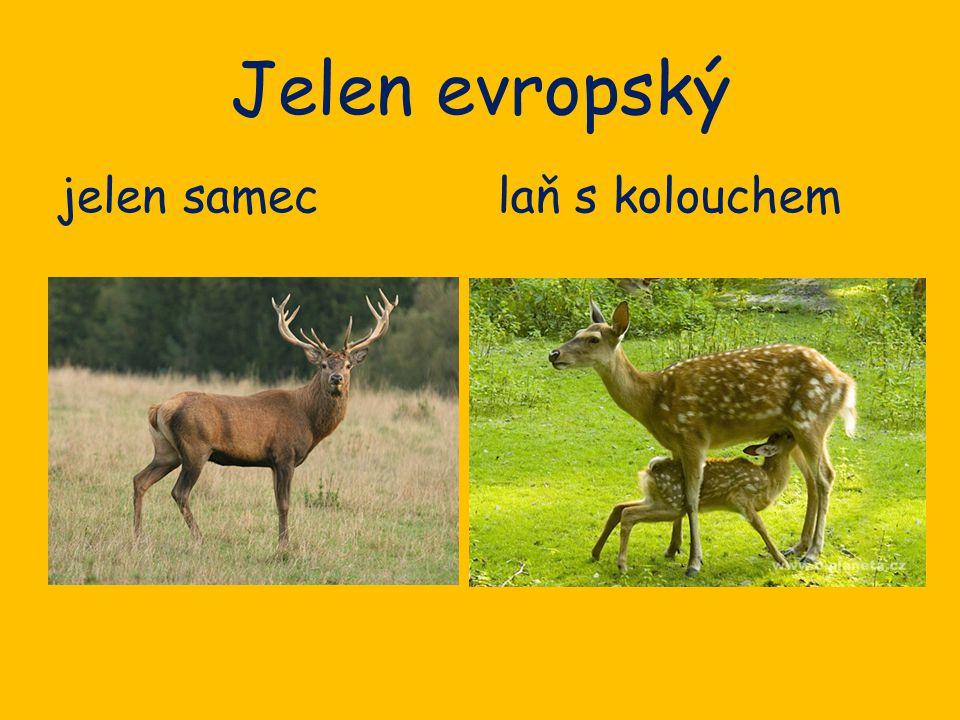 Jelen evropský jelen samec laň s kolouchem
